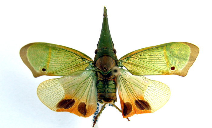 Odontoptera carrenoi